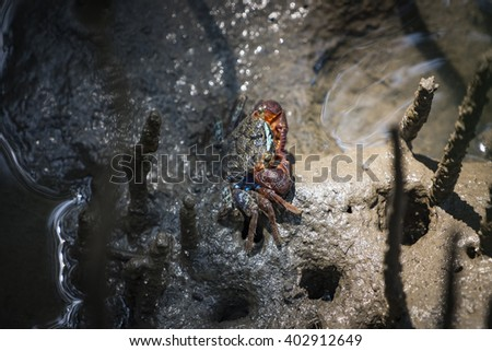 Mangrove (Forest) Crab #4 - stock photo