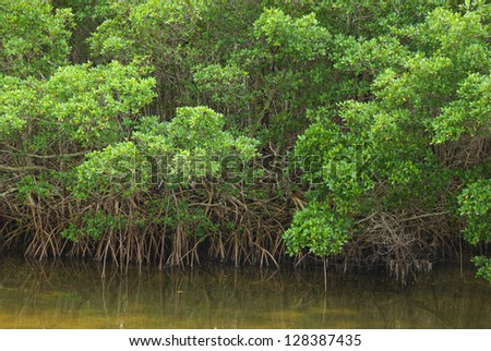 Mangrove forest edge on a waterway, with roots hanging down - stock photo