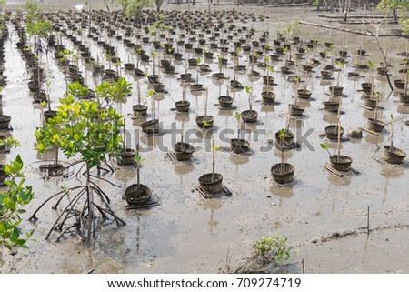 Mangrove forest planted on mangroves with natural background