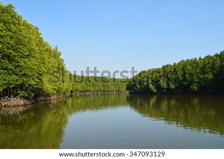 mangrove  forest reflection on green water