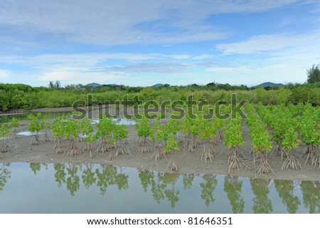 Mangrove forest reservation - stock photo