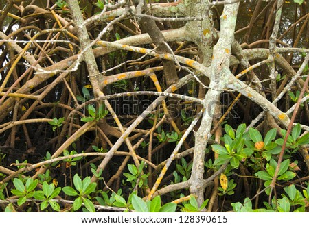 Mangrove forest roots and shoots up close - stock photo