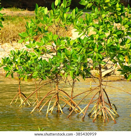 mangrove forest , thailand. - stock photo