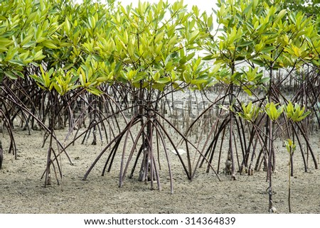 Mangrove forest topical rainforest for background, Ta lum pook promontory of Thailand.
