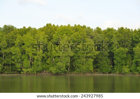 Mangrove forest topical rainforest Thailand - stock photo