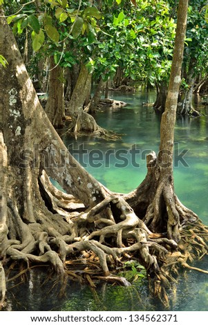 Mangrove forests ( swamp ) with Stream - stock photo