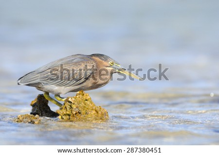 Mangrove Heron at Sharm el-Sheikh beach - stock photo