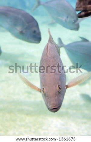 Mangrove Jack and Snapper - stock photo