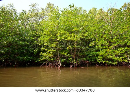 mangrove on river ,thailand - stock photo