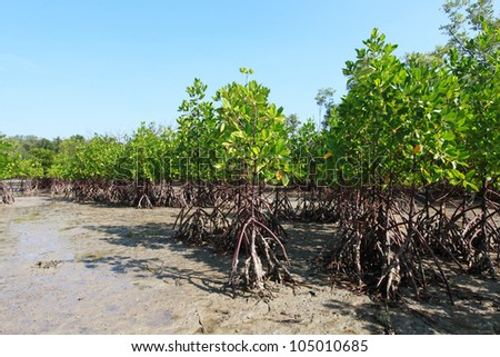 mangrove on the beach. - stock photo