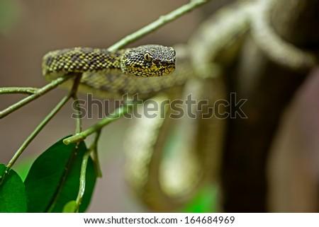 mangrove pit viper - stock photo