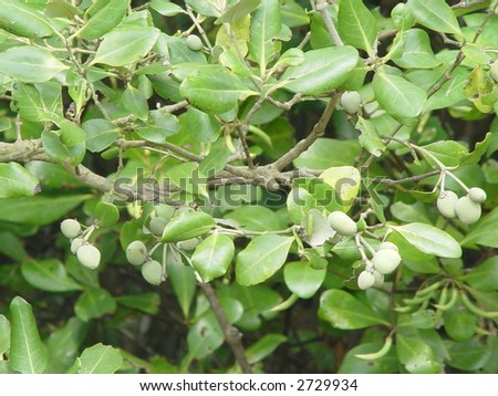 Mangrove Plant and Fruits - stock photo