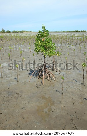 Mangrove planting young mangrove trees for reforestation activity. - stock photo