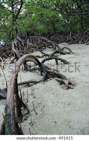Mangrove Roots - stock photo