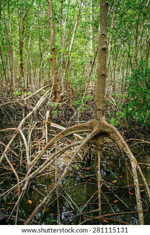 Mangrove roots reach into shallow water in a forest growing in the Mergui Archipelago off the coast of thailand. Mangroves are important nursery habitat for many species birds, fish and invertebrates - stock photo