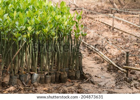 Mangrove seedlings in preparation for planting in Thailand. - stock photo