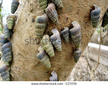 Mangrove snails - stock photo