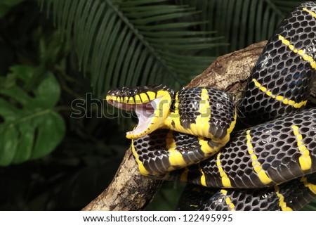 Mangrove snake - stock photo