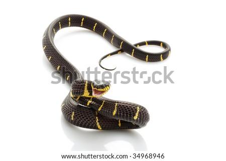 Mangrove Snake (Boiga dendrophila) isolated on white background. - stock photo