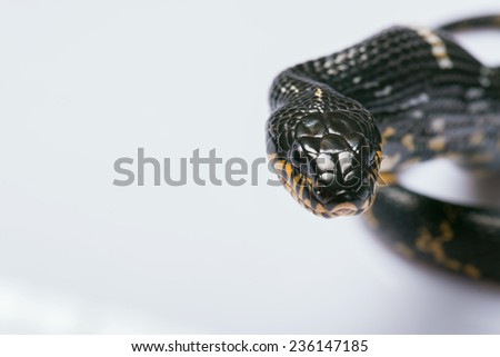 mangrove snake  isolated on white background   with copy place - stock photo