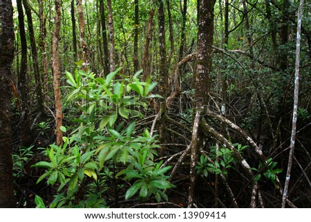 mangrove swamp, daintree forest - stock photo