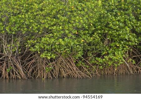 Mangrove Swamp in North Queensland, Australia - stock photo