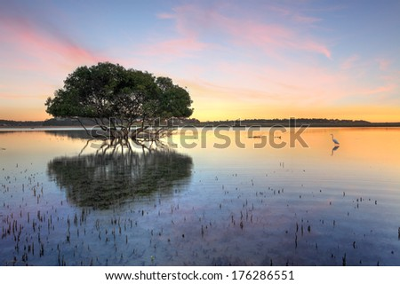 Mangrove tree and white egret , type of heron, in the morning showing the mangroves distinctive peg roots sticking up out of the water. - stock photo