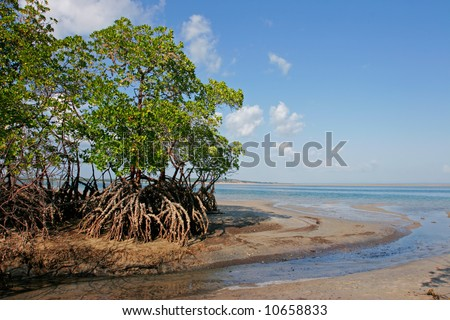 Mangrove tree at low tide, Vilanculos coastal sanctuary, Mozambique, southern Africa - stock photo