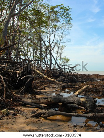 Mangrove tree during low tide - stock photo