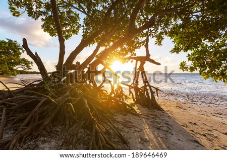 Mangrove tree in Florida coast - stock photo