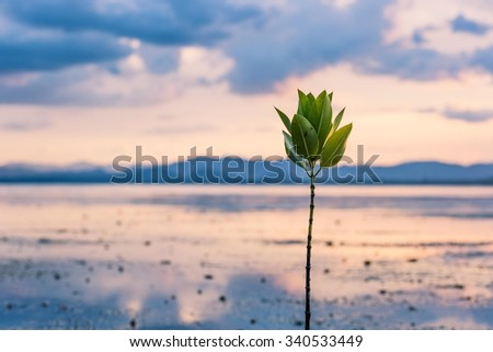 Mangrove tree on beach at sunset time - stock photo