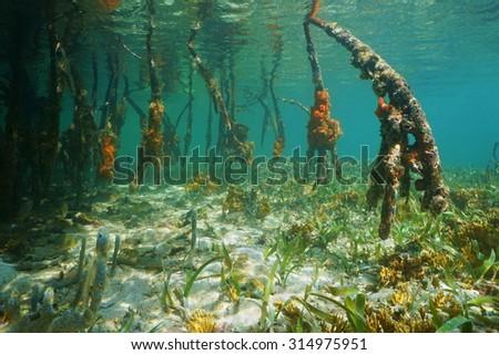 Mangrove tree roots underwater, Caribbean sea, Panama, Central America - stock photo