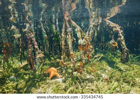 Mangrove tree roots underwater ecosystem, Caribbean sea, Central America - stock photo