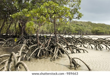 Mangrove tree standing in sand at Cape Tribulation in Australia - stock photo