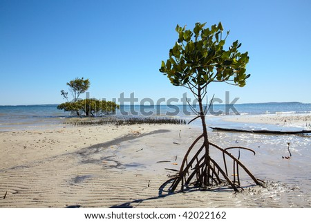 Mangrove tree with big roots at sea coast - stock photo
