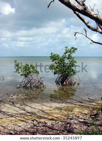 Mangrove trees, Florida Keys, USA