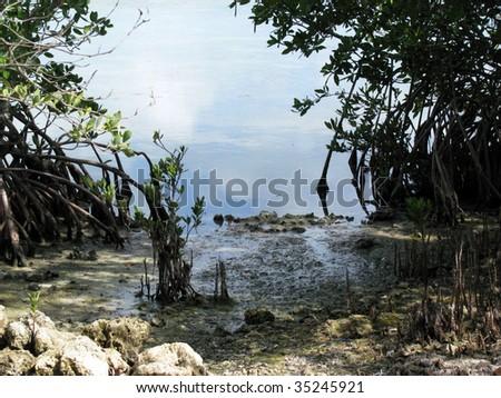 Mangrove trees, Florida Keys, USA - stock photo