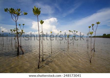 Mangrove trees in the sea - stock photo