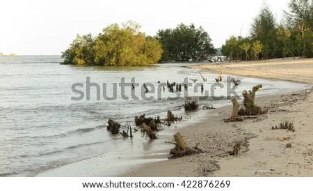 mangrove trees stumps dead in the sea   - stock photo