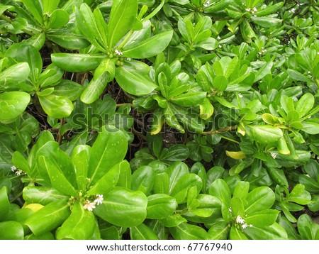 Mangroves at the beach of Port Douglas, North Queensland, Australia - stock photo