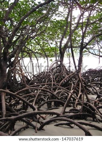 Mangroves, Daintree Rainforest, Queensland, Australia - stock photo