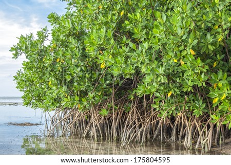 Mangroves growing in shallow lagoon Chacmuchuc in Isla Blanca, Quintana Roo, Mexico - stock photo