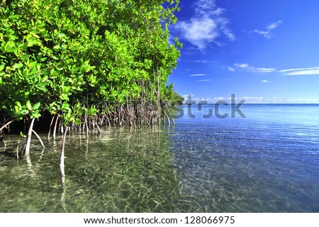 Mangroves growing in shallow lagoon in the bay of Isla Culebra in Puerto Rico - stock photo