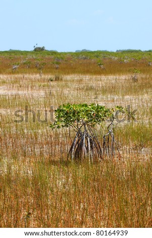 Mangroves in a parched landscape of Everglades National Park in the dry season - stock photo