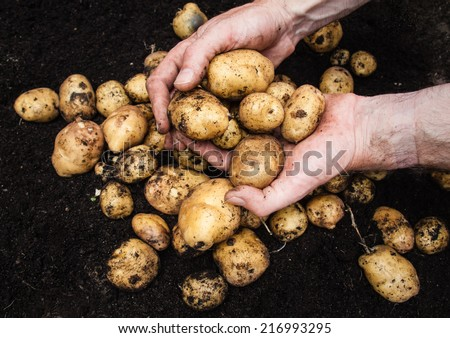 mans hand holding a  freshly harvested potatoes with rich dark soil behind - stock photo
