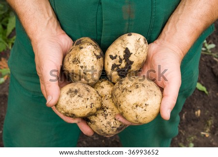 Mans hands holding fresh dug potatoes - stock photo