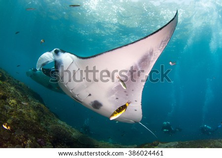 Manta alberti getting clean at the cleaning station. Nusa Penida, Indonesia. - stock photo