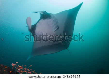 Manta birostris gliding peacefully over a reef with brightly colored fish, in clear blue water - stock photo