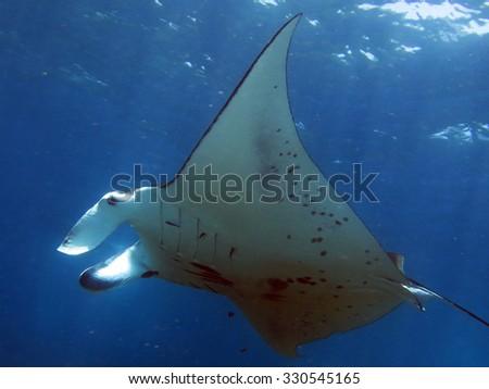 Manta birostris (Manta ray) over cleaning station - stock photo