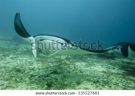 Manta coming to you in the blue and sand background - stock photo
